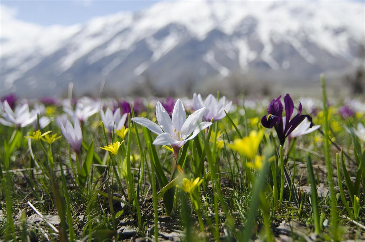 Baharın müjdecisi çiğdem ve nergisler Tunceli'de görsel şölen sunuyor