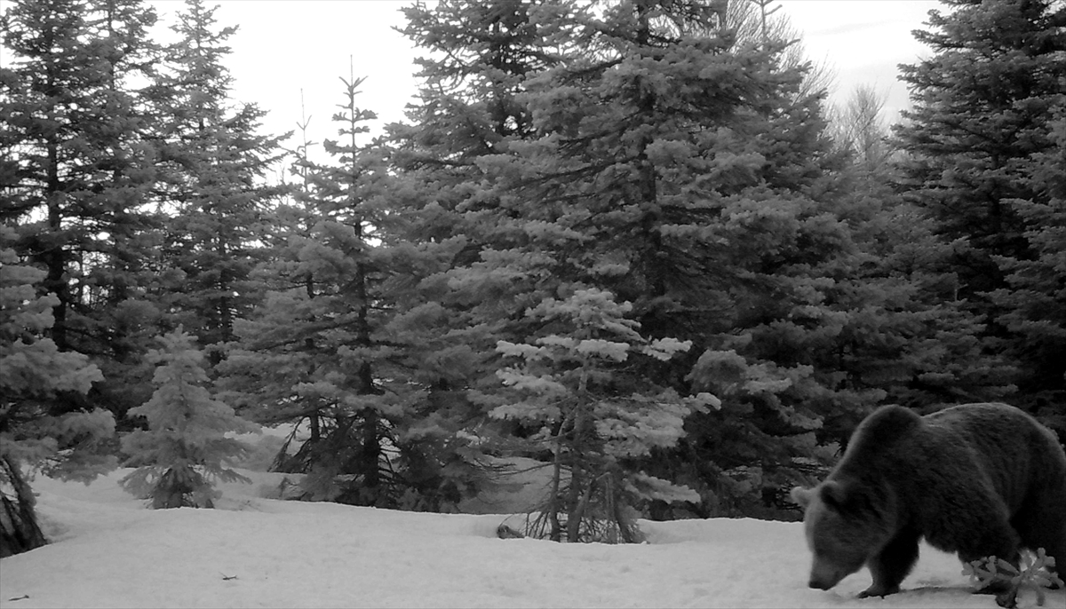Uludağ Milli Parkı'nda yaban hayatı fotokapanla görüntülendi