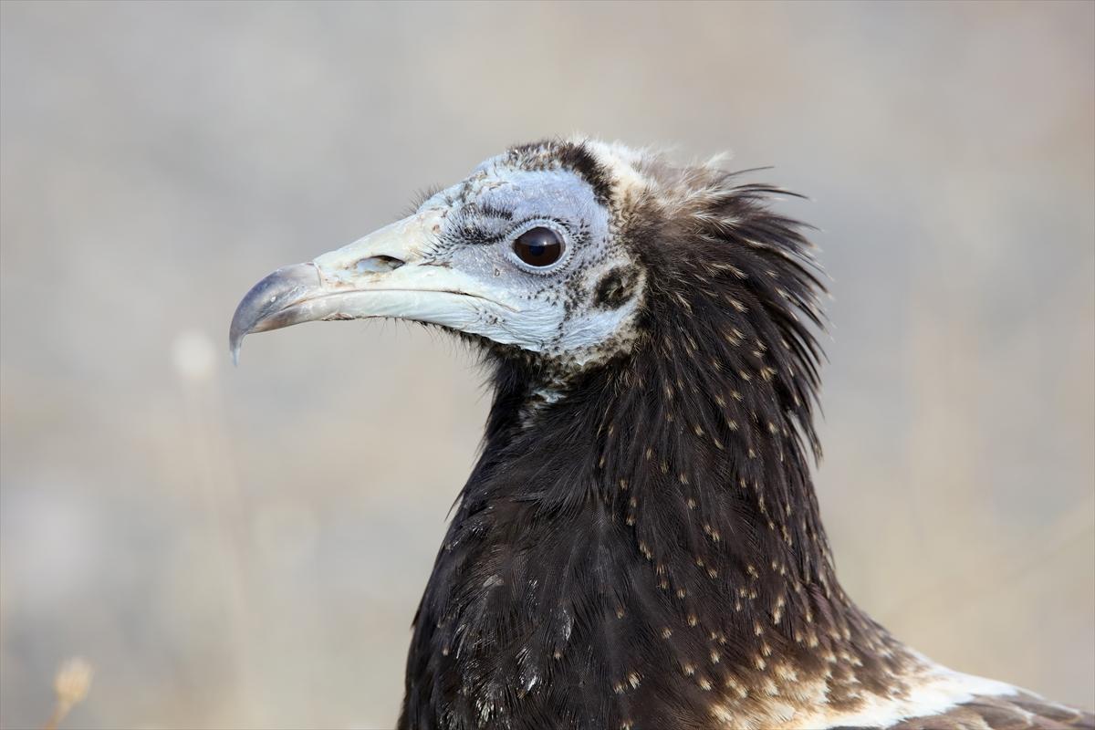 Van'da tedavi edilen 108 yırtıcı kuş doğal yaşam alanına bırakıldı