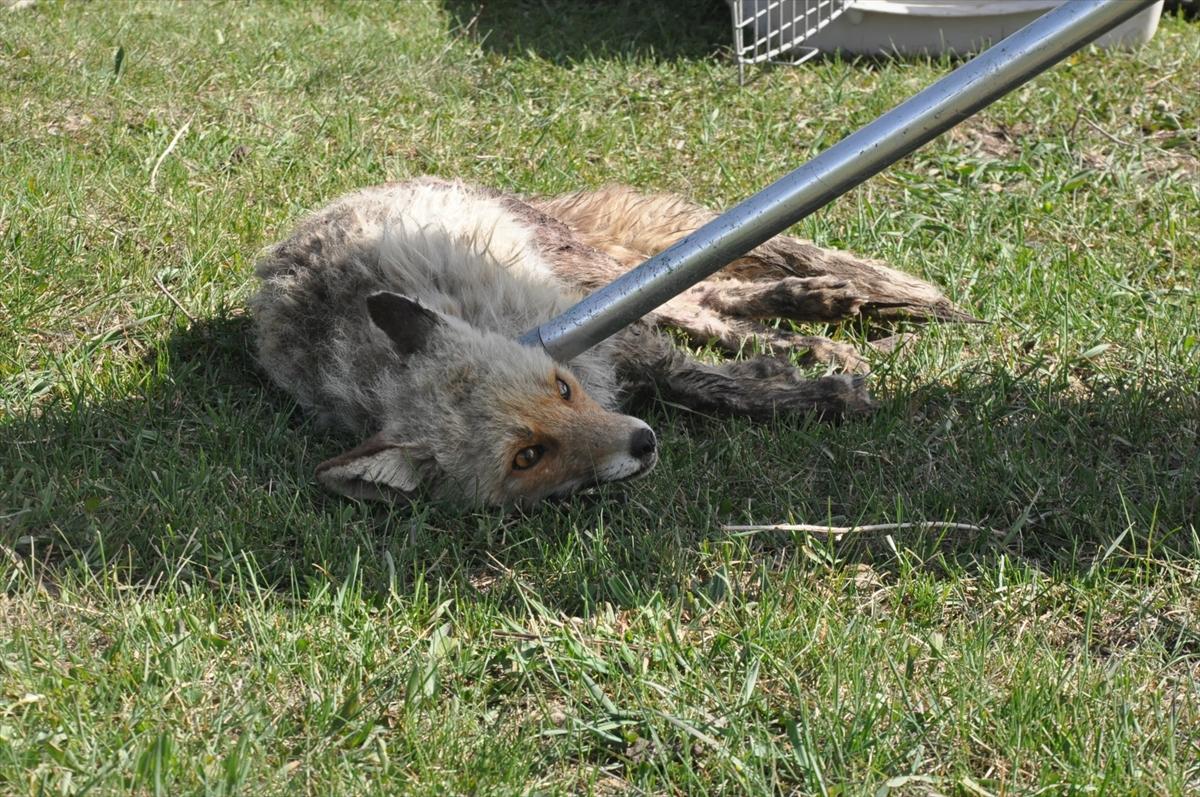 Kars'ta yol kenarında yaralı bulunan yavru tilki tedavi edildi