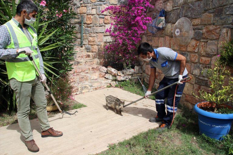 Bodrum'da yaban domuzu sürüsü site bahçesine girdi