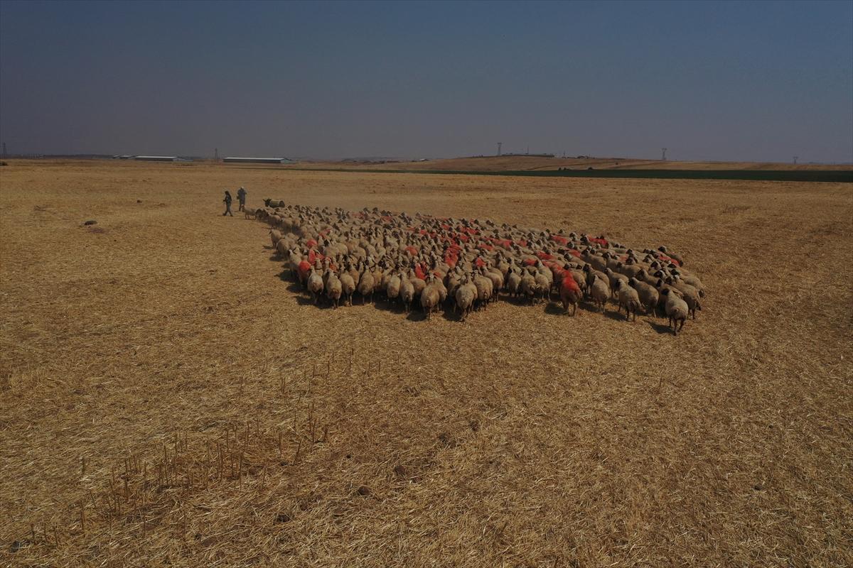 """Türkiye'nin en büyük tarım işletmesinde """"elit"""" sürülere koç katımı başladı"""