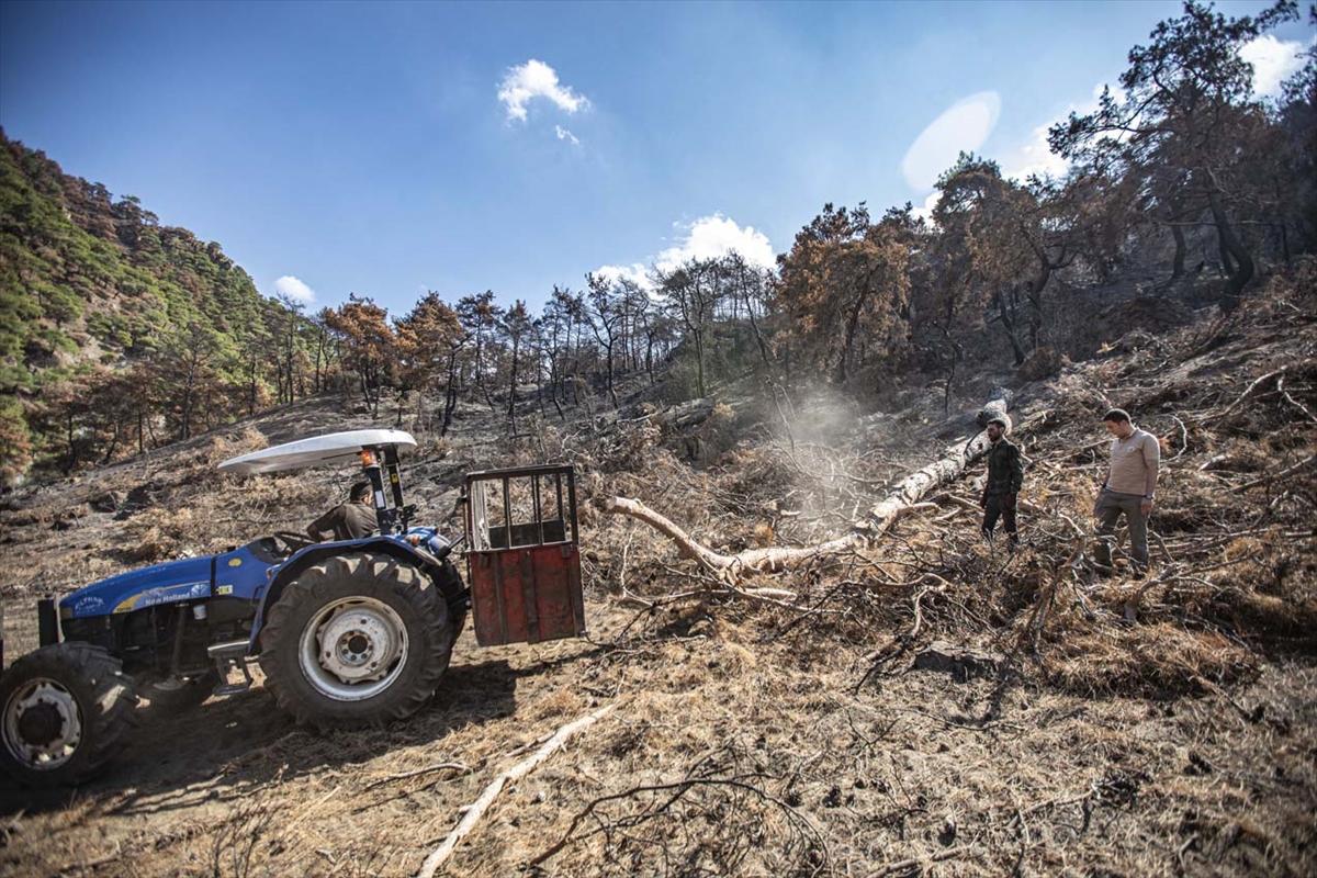 Manisa'da kül olan ormanlarda ağaçlandırma çalışması devam ediyor