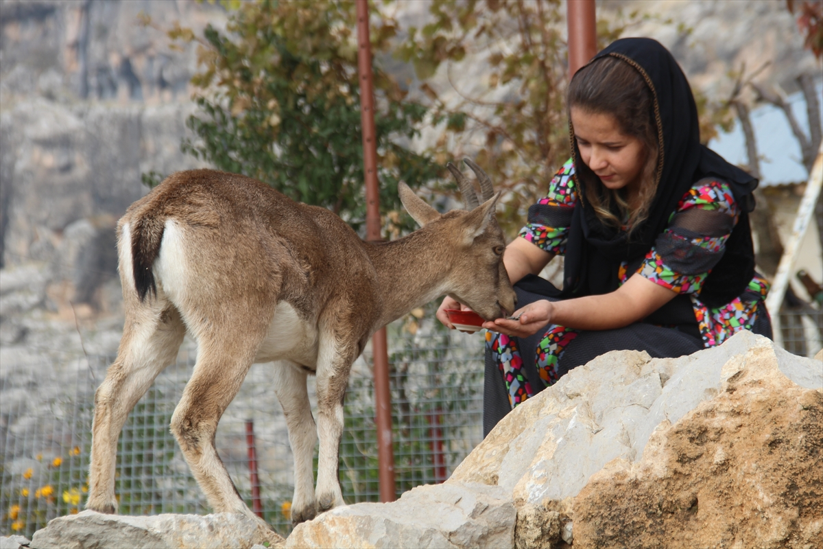 Hakkarili genç kız kardeşlerinin bitkin halde bulduğu dağ keçisine gözü gibi bakıyor
